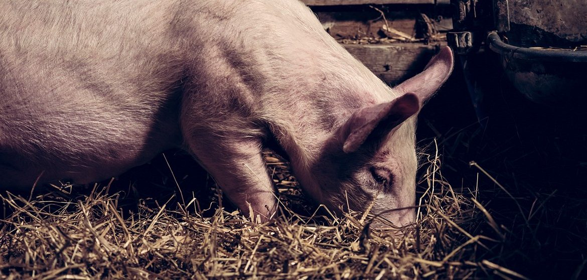 How to improve water quality for pigs and comply with water regulations